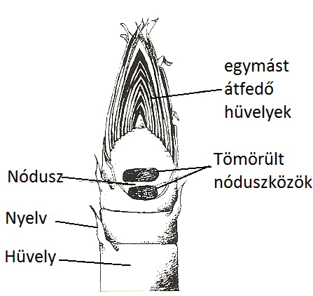 Bambusz Hajtás