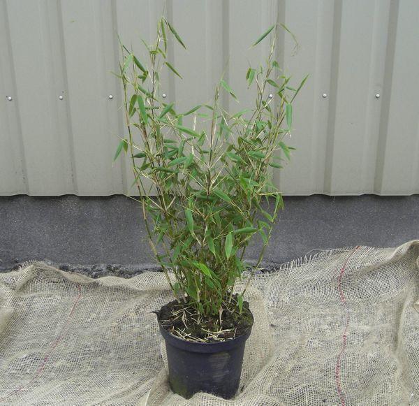 Fargesia Taibashan 2 Magas Bambusz