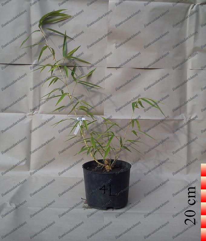 Hibanobambusa Tranquillans Shiroshima Magas Bambusz