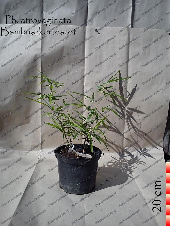 Phyllostachys Atrovaginata óriás Bambusz