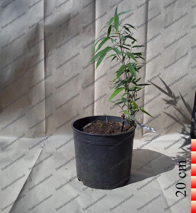 Phyllostachys Aurea Flavescens Inversa óriás Bambusz