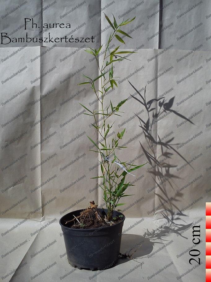 Phyllostachys Aurea óriás Bambusz