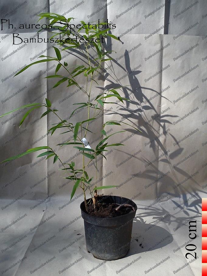Phyllostachys Aureosulcata Spectabilis óriás Bambusz
