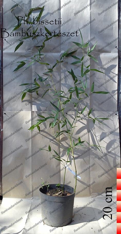 Phyllostachys Bissetii óriás Bambusz