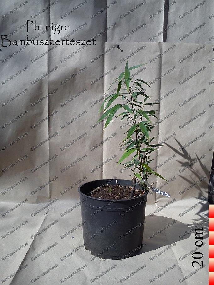 Phyllostachys Nigra óriás Bambusz