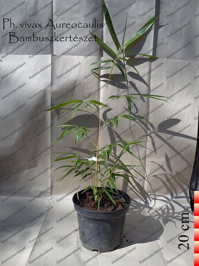 Phyllostachys Vivax Aureocaulis óriás Bambusz