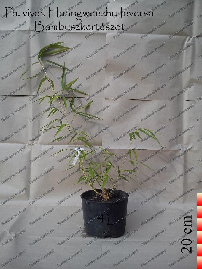 Phyllostachys Vivax Huangwenzhu Inversa óriás Bambusz