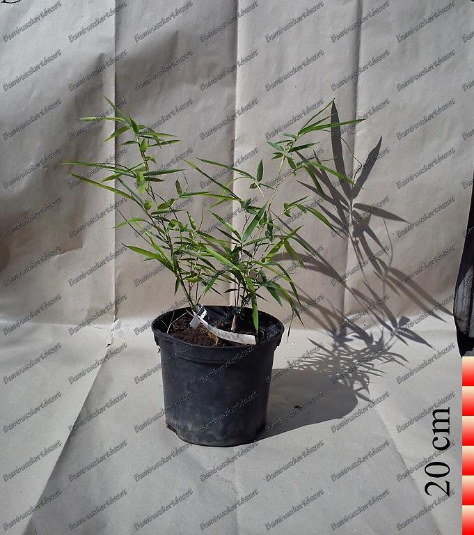Pleioblastus Fortunei Törpe Bambusz