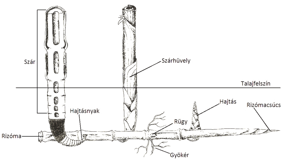Leptomorf Rizóma